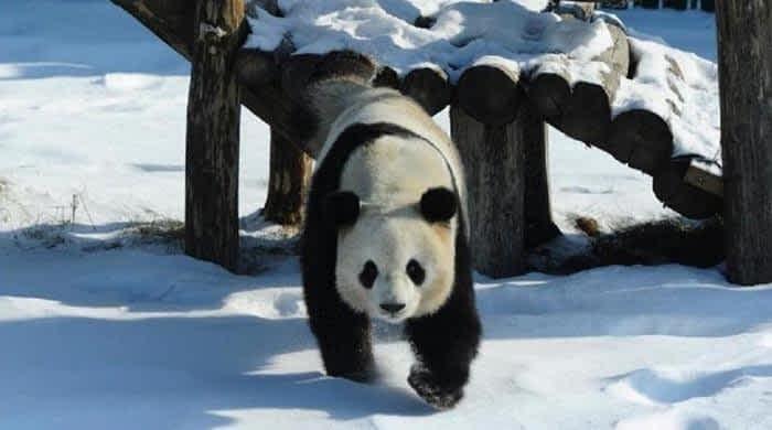 Panda enjoys snowfall