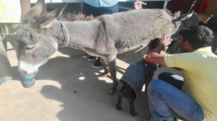 ACF Creates Donkey-Friendly Harnesses