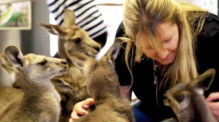 Australian couple raising 17 kangaroos
