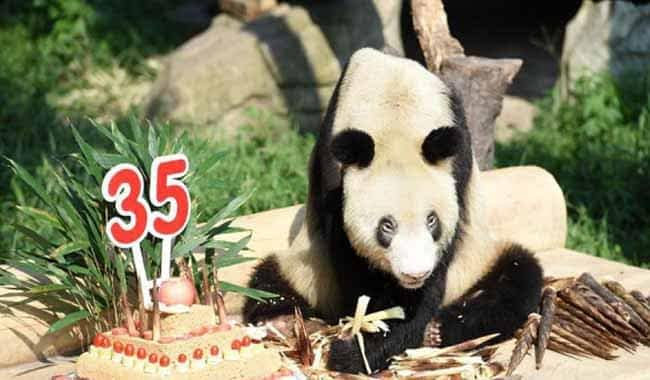 Zoo in China throws birthday party for celebrity granny panda