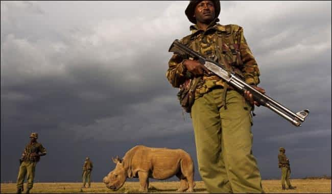 This Sudan, the last white male rhino left in the world