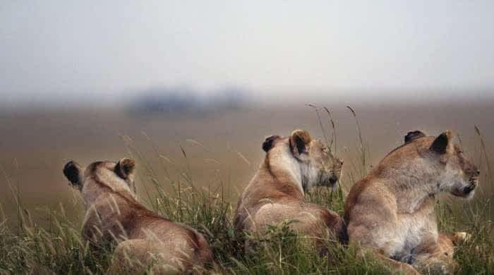 Big cats in evolutionary arms race with prey: study